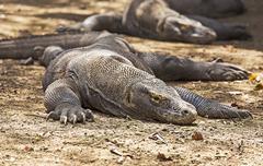 Komodo Dragon photo Stock Photos