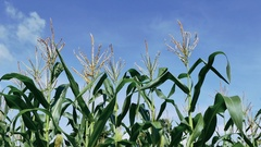 4K Footage of Young corn field blowing in the wind Stock Footage