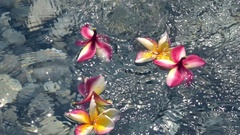 Drops of water are falling on tropical flowers plumeria (frangipani). Slow mo Stock Footage