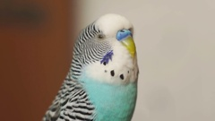 Budgerigar blue turns his head, opens and closes his eyes when shooting close up Stock Footage
