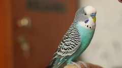 Budgerigar sitting on a human finger, turns his head and blinks. Stock Footage