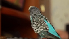 Budgerigar sits on a table, turns his head, opens and closes his eyes Stock Footage