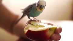 Budgerigar blue bite half apple that keeps a person, small depth of field. Stock Footage