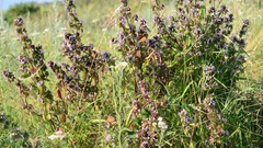 Dead nettle and butterfly in the steppe Stock Footage