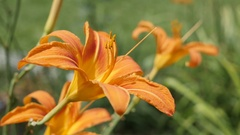 Bunch of Hemerocallis fulva tiger flower buds in the garden Stock Footage