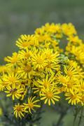 Jacobea vulgaris or Senecio Jacob ( lat. Jacobaea vulgaris, Senecio jacobae.. Stock Photos