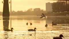 Ducks and seagulls fly and float on the river in the city at sunset. Stock Footage