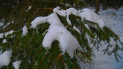 Snow on green spruce branch Stock Footage