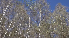 4K Pan left young forest tree crown panorama view in sunny day wood branch arbor Stock Footage