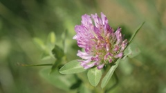Herbaceous red clover specie plant in the field Stock Footage