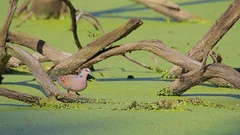 European Turtle Dove. Drinking water. Stock Footage