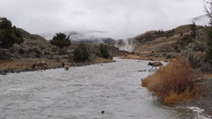 Elk Herd Crossing River with Hot Steam in Background at Yellowstone Stock Footage