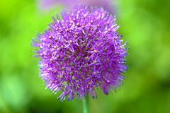 Lilac Inflorescence of Garlic on a Green Background Stock Photos