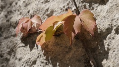 Golden leafs clambering plant on bumpy white facade sunny side Stock Footage