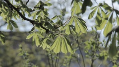 Chestnut Foliage in Spring Stock Footage