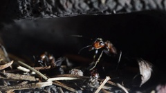 Ant (Formica rufa) in the undergraund , artificial anthill Stock Footage