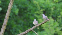 European Turtle Dove. Couple. Stock Footage