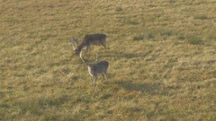 Two fallow deer grazing  grass on the field, wide shot by Sheyno. Stock Footage