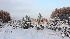 Winter, evening, pine bowed under weight of snow Stock Footage