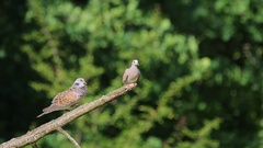 European Turtle Dove. Song. Couple. Stock Footage