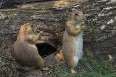 Pair of prairie dogs eat green grass stalk on trunk Stock Photos