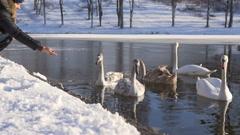 Woman Seeds Beautiful Swan Birds Family at Winter Lake Stock Footage