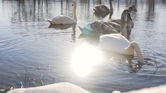 Beautiful Swan Birds Family at Winter Lake Stock Footage