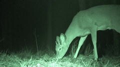 Small White-tailed Deer Spike Buck at Night Filmed in Infra-red Stock Footage