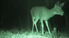 White-tailed Deer Doe at Night in Forest Infra-red Stock Footage