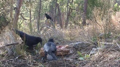 Crows Scavenging on Carrion in Forest One Crow as Sentry Watchout Stock Footage
