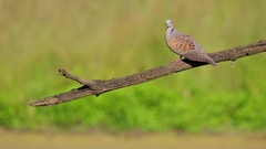 European Turtle Dove. Fly away. Stock Footage