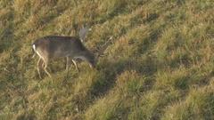 Fallow deer graze on the field at winter season by Sheyno. Stock Footage