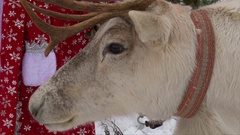 Reindeer chewing head, closeup shot Stock Footage