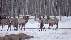 Pack of deer in the wild forest Stock Footage