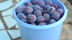 Blue plums in a plastic bucket are on a track in the garden Stock Footage