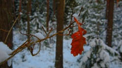 Red oak leaf on a branch in winter forest Stock Footage