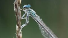 Damselfy in wildlife on old dry grass washing eyes. Damselfy in waterdrops Stock Footage