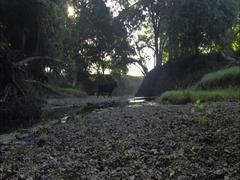 Cows crossing a creek / herding cattle Stock Footage