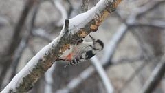 Woodpecker on the birch Stock Footage