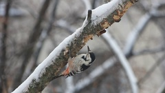 Woodpecker on the birch Stock Footage