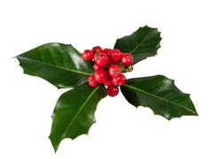 Holly Berry isolated on white background Stock Photos
