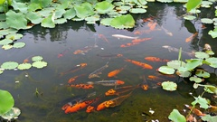 Koi fish pond (carp) in 4k Stock Footage