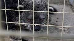 Musang civet (Paradoxurus hermaphroditus), in cage hissing Stock Footage