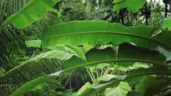 Banana and palm leaves in rain Stock Footage