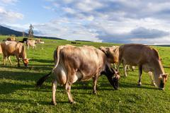 Dairy Farm Cows Stock Photos
