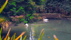 Couple white swans on water Stock Footage