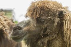 Camel face Stock Photos