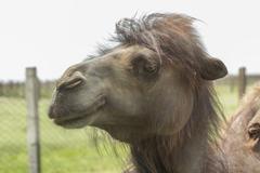 Camel close-up Stock Photos