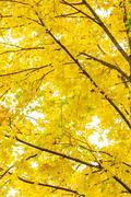 Autumn leaves illuminated the sun. Maple Stock Photos