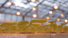 View of the cucumber seedlings in the greenhouse Stock Footage